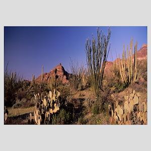 Organ Pipe cacti Stenocereus thurberi on a landsca