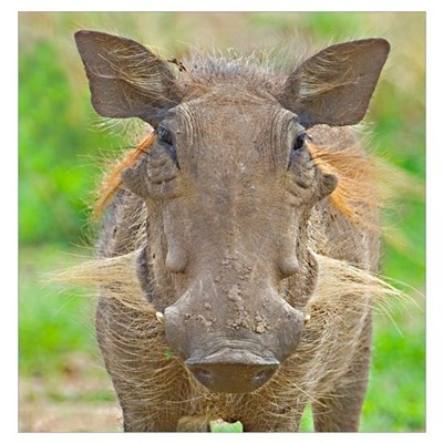 Close-up of a warthog, Lake Manyara, Arusha Region Poster