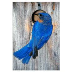 Male Eastern Bluebird (Sialia Sialis) On Wooden Bi Framed Print