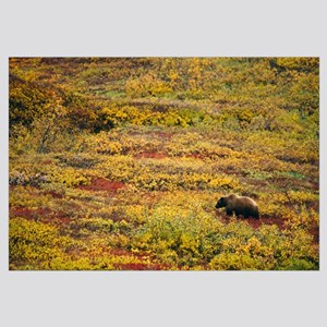 Grizzly bear (U. horribilis) looking for berries i