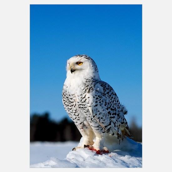 Snowy owl (Nyctea scandiaca) on snow perch, profil