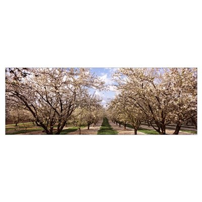 Almond trees in an orchard, Central Valley, Califo Poster