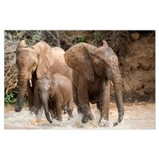 African elephants (Loxodonta africana) playing wit Poster