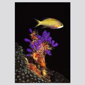 Bluebell tunicate (Clavelina puertosecensis) and A