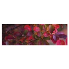 Leaves on a Crepe Myrtle tree (Lagerstroemia indic Poster