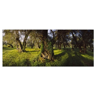 Olive trees on a landscape, Corfu, Ionian Islands, Poster