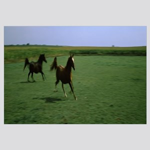 Two Arabian horses running on grassland Stelle For