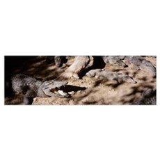 Crocodiles in a zoo Tamil Nadu India Poster