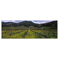 Mustard plants growing in a vineyard Napa Valley N Poster