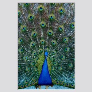 Peacock 6025 - Large Poster