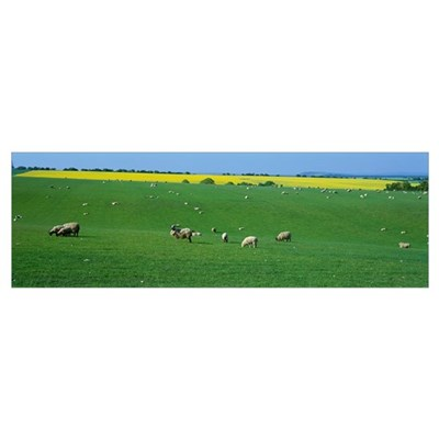 Sheep in Pasture North Yorkshire England Poster