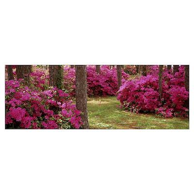Azaleas in a forest, Crawfordville, Florida Poster