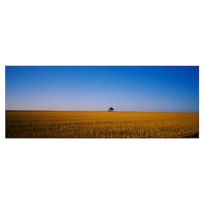 Tree in a wheat field, Australia Poster