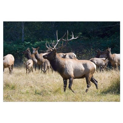 Roosevelt Bull Elk With Herd Canvas Art