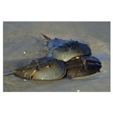 Horseshoe Crabs Mating In Sand Poster