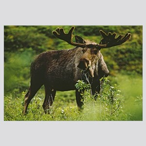 Bull moose, close-up, Denali National Park, Alaska