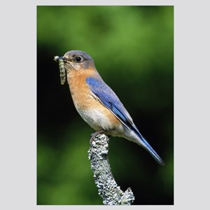 Eastern bluebird on perch, grub in beak, profile,