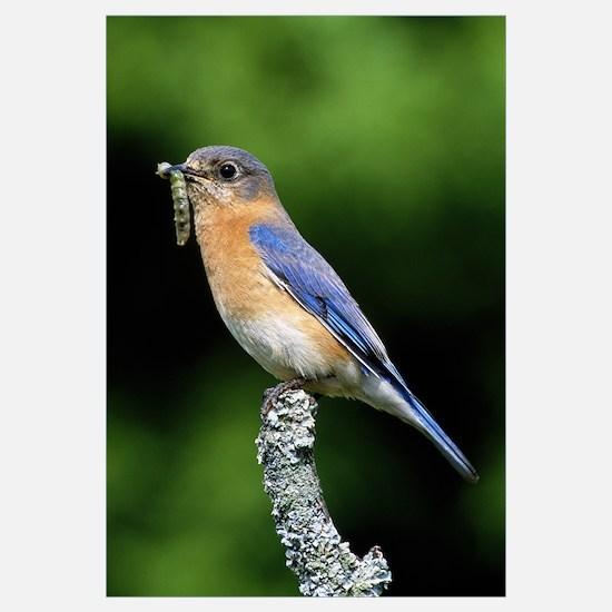 Eastern bluebird on perch, grub in beak, profile,