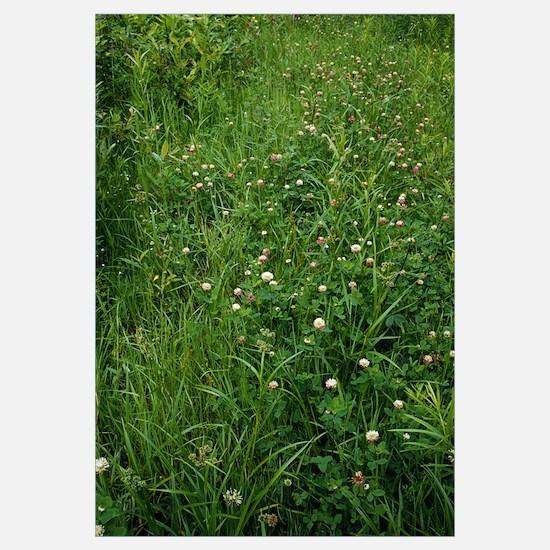 Field of blooming red clover (Trifolium pratense),