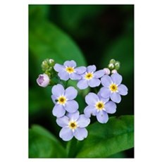 Forget-me-not flowers (Myosotis scorpioides) bloom Poster