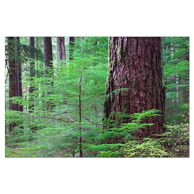 Lush foliage in old-growth rain forest, Sol Duc Va Poster