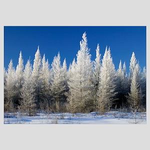 Hoarfrost on tamarack trees, blue sky, Red Lake Wi