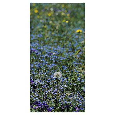 Dandelion flowers in a field, Massif Central, Fran Poster