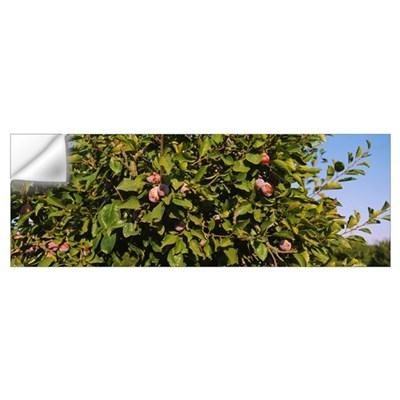 Close-up of a treetop in an orchard, Gilroy, Calif Wall Decal