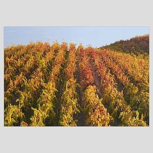 Grape leaves in a vineyard, Shenandoah Valley, Ama