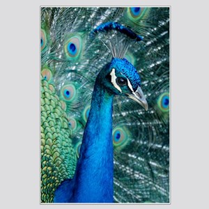 Peacock 5644 - Large Poster