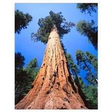 California, Giant sequoia Poster