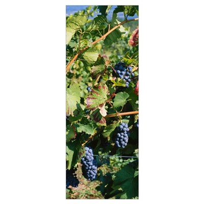 Close-up of red grapes in a vineyard, Finger Lake, Poster