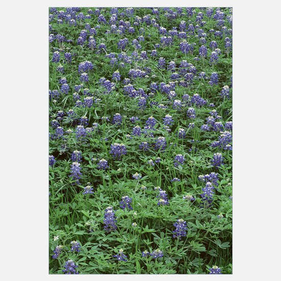 High angle view of plants, Bluebonnets, Austin, Te