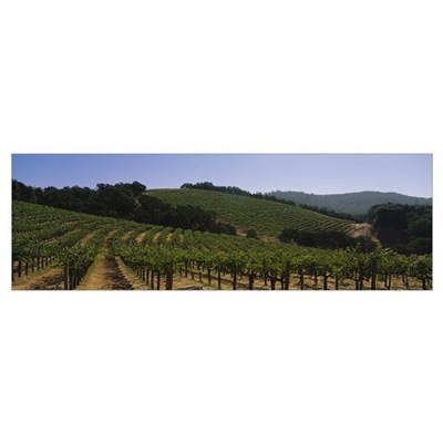 Vineyard on a landscape, Napa Valley, California Poster
