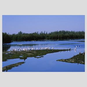 Flock of white pelicans at a lake, J.N. Ding Darli