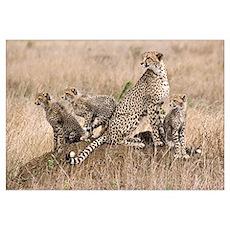 Cheetah Family Wall Art Poster