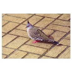 Pigeon on Brick Wall Art Poster