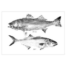 Striper Bass and Bluefish Wall Art Framed Print