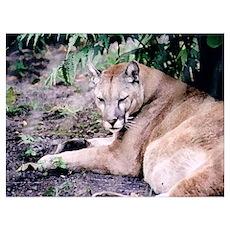 Cougar series 3 Wall Art Poster