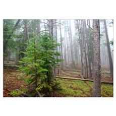 Pine tree forest Wall Art Poster