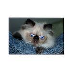 Blue-Eyed Himalayan Kitten Magnets (Set of 10)