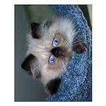 """Blue-Eyed Himalayan Kitten 20""""x16"""" Poster"""