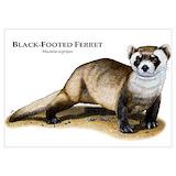 Ferret Posters