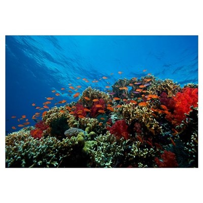 A school of orange basslets on a healthy coral ree Framed Print