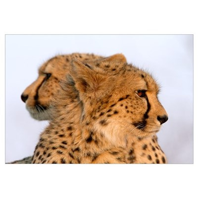Two Headed Cheetah Wall Art Framed Print