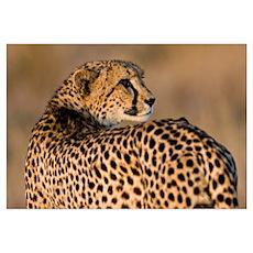 Cheetah Wall Art Poster
