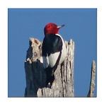 Red-headed Woodpecker Tile Coaster