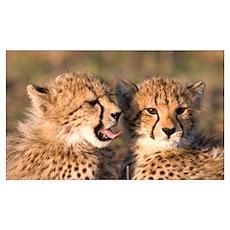 Cheetah cubs Wall Art Poster