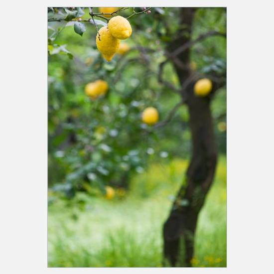 Lemons growing on a tree, Sorrento, Naples, Campan