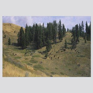 High angle view of bisons grazing, National Bison